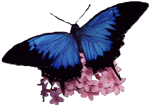 dark-blue-ulysses-with-pink-flower